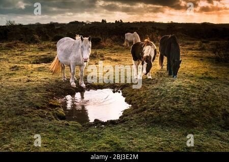 Poneys sur Goonzion Bodmin sauvages Downs sur Bodmin Moor en Cornouailles.