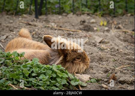 Un joli lapin nain brun (tête d'lions) reposant sur le sol dans le jardin