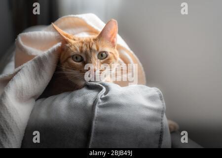 le chat tabby à yeux verts se cache en dehors après se cacher sous la couverture
