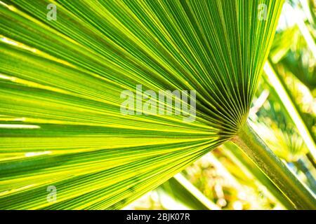 Close up de plus en plus naturel de green palm laisser texture background