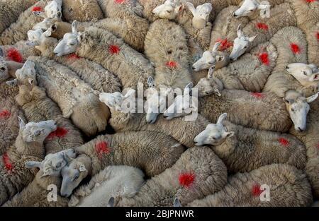 Les moutons se sont rassemblés dans un stylo attendant d'être cisaillé, île d'Eigg, Inner Hebrides, Ecosse.