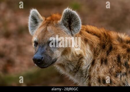 Hyena à pois - Crocuta crocuta, photo du carnivore africain puissant dans le parc national d'Etosha, Namibie, Afrique.