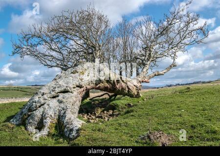 L'arbre Rowan tombé