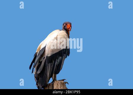 Roi vautour avec le nom scientifique de Sarcoramphus papa perché sur une branche d'arbre contre un ciel bleu Banque D'Images