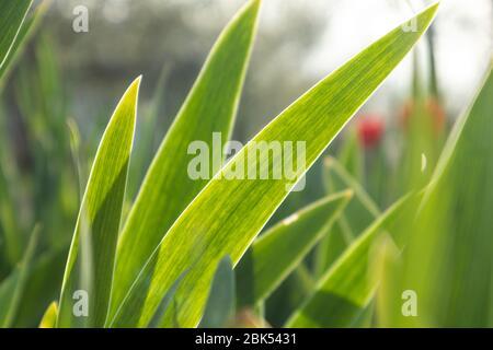 Les jeunes feuilles de fleurs d'herbe vertes sur le soleil brillant brillent à travers dans le jardin. Croissance de développement ensoleillé au printemps