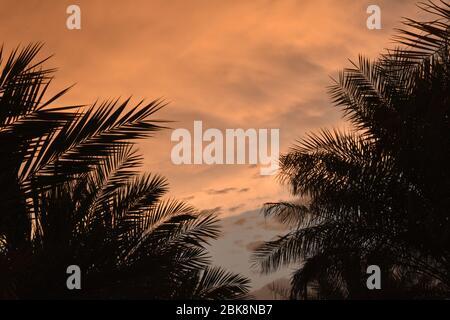 Palmiers verts frais bordure sur fond ciel nuageux rouge, jour ensoleillé, beau papier peint naturel, concept vacances d'été.