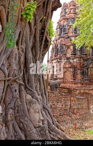 Grande tête de Bouddha en pierre dans les racines de figuiers, Wat Mahatha, Ayutthaya City, Thaïlande, Asie du Sud-est, Asie - 21 janvier 2020