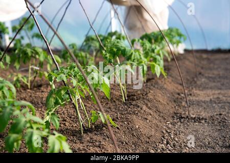 plants de tomates en serre - foyer sélectif Banque D'Images