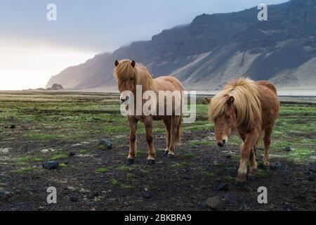 Chevaux Islandais sont très créatures uniques pour l'Islande. Ces chevaux sont plus susceptibles des poneys mais bien plus grand et ils sont capables de survivre Banque D'Images