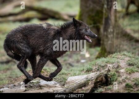 Timberwolf en forêt