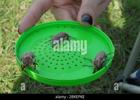 Gros plan de la main de fille maniant trois cafards, melolontha mai, coléoptère, bug, insecte.