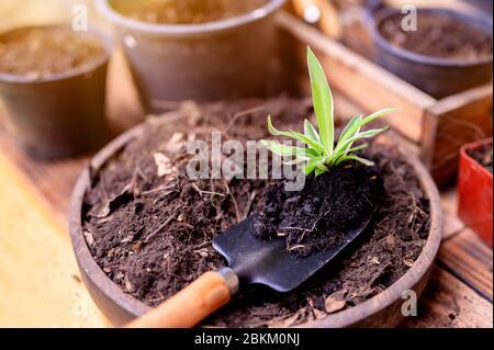 Jardinier plantant l'arbre et la croissance. Maison jardinage nature et environnement passe-temps. Détendez-vous et rédétendez-vous pendant la saison de récolte du printemps à la maison.