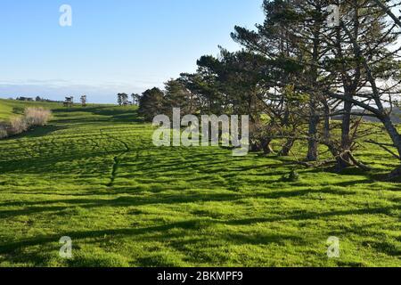 Pâturage avec herbe verte fraîche avec rangée de conifères jetant de longues ombres dans la lumière de fin d'après-midi. Banque D'Images