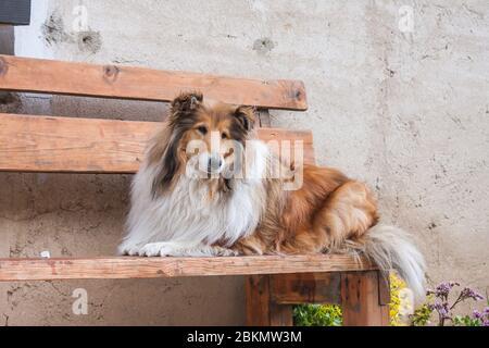 collie brute longue à poil doré couché sur un banc en bois