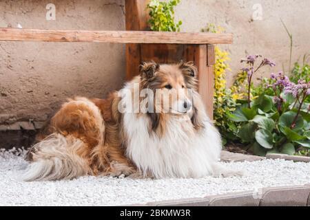collie brute longue à poil doré sous un banc en bois