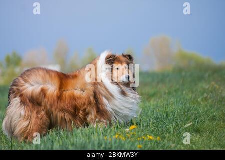 Belle longue cheveux molletonnée collie rugueuse debout sur un champ vert, ciel bleu