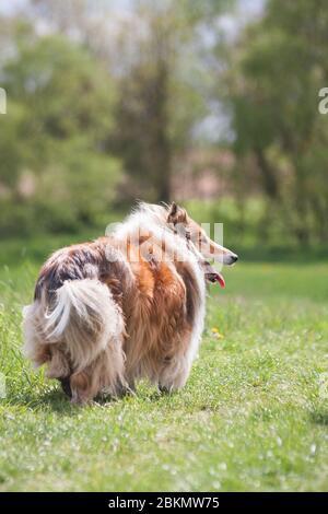 Belle longue cheveux molletonnée collie rugueuse debout sur un champ vert