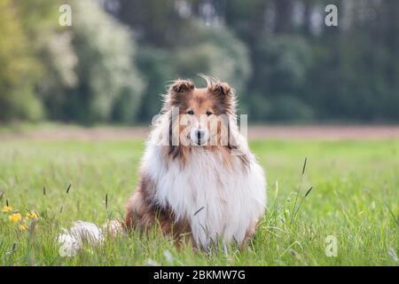 Portrait d'un collie brut à poil long doré, fond vert naturel