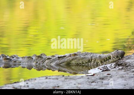 Crocodile américain (Crocodylus acutus) sur la rive de la Sirena River, Parc National Corcovado, Costa Rica.