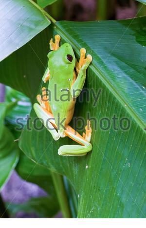 Grenouille des arbres qui glisse, grenouille des feuilles qui glisse, ou grenouille des feuilles de Spurrell, Agalychnis sparrelli, dans la forêt tropicale, Costa Rica, Amérique centrale Banque D'Images