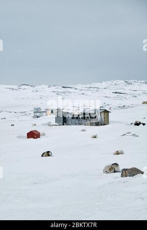 Pack de chiens de traîneau greenlandic enchaînés dans leurs huttes Banque D'Images