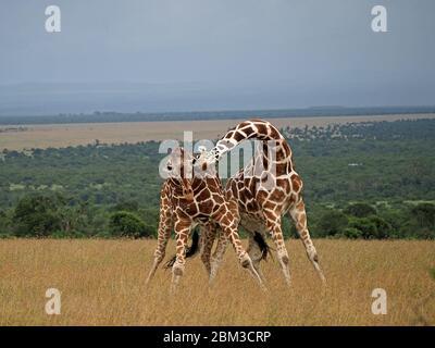 Deux vieux girafes réticulés (Giraffa camelopadis reticulata) se battent pour le droit de s'accoupler avec des femelles -OL Pejeta Conservancy,Laikipia,Kenya, Afrique