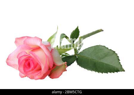 Belle rose rose (Rosaceae) isolée sur un fond blanc, couchée et sans ombre. Allemagne Banque D'Images