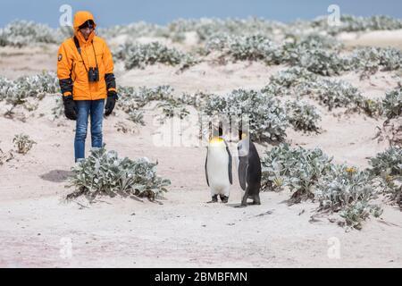 Penguin roi; Aptenodytes patagonicus; Volunteer point; Falklands