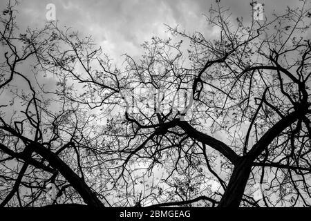 Branches d'un arbre branchy contre le ciel. Photo en noir et blanc Banque D'Images