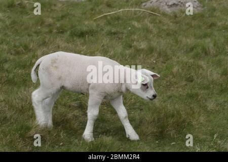Petit agneau nouveau-né dans le champ d'herbe Banque D'Images