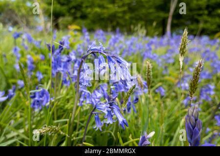 Bluebell, jacinthoides non scripta