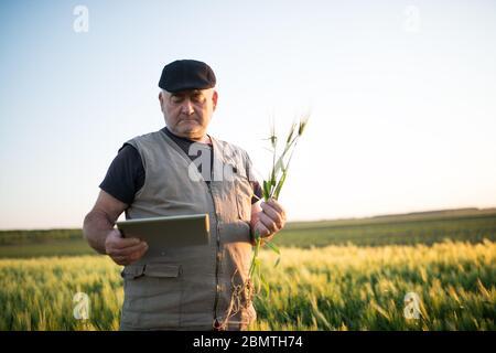 Agriculteur principal en champ examinant blé corp et en utilisant le comprimé. Banque D'Images