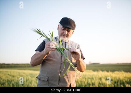 Agriculteur principal en champ examinant blé corp Banque D'Images