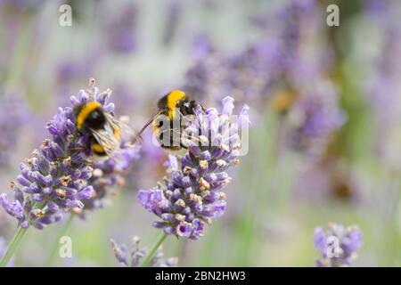 Les abeilles de Bumble pollinisant les fleurs de lavande (lavandula angustifolia). Pollinisation par les insectes en été, au Royaume-Uni Banque D'Images