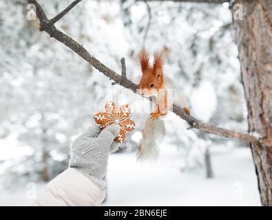 Jeune fille donnant à pain d'épices écureuil drôle dans la forêt la neige sur l'époque de Noël Banque D'Images
