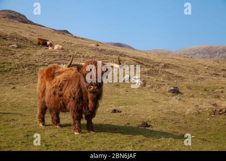 Une vache de montagne debout regardant la caméra sur un pâturage vert près de Harris sur l'île de Rum, en Écosse Banque D'Images