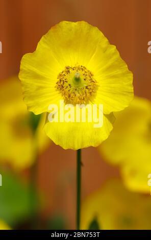 Gros plan d'un coquelicot gallois jaune, Papaver cambricum sous le soleil de printemps