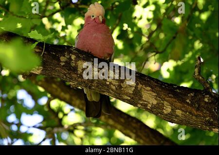 Le perroquet de Galah est un oiseau de cafard assis sur une branche d'arbre dans le parc national de Yanchep près de Perth en Australie occidentale. Regarder la caméra