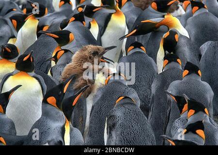 Pingouin royal (Aptenodytes patagonicus), colonie, Antarctique, plaines de Salisbury, crique de Cierva