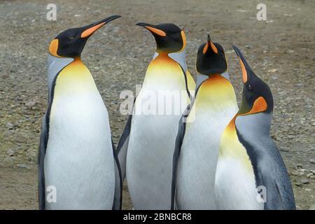 Pingouin royal (Aptenodytes patagonicus), groupe, Antarctique, plaines de Salisbury, crique de Cierva