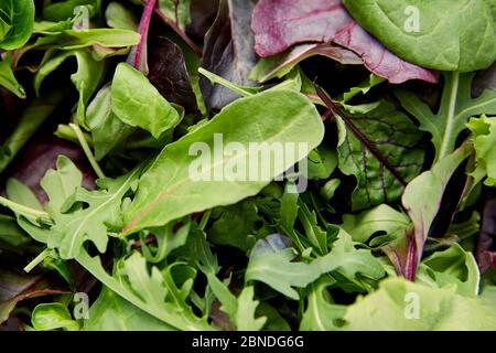 Vue de dessus de différents types de verdure et de feuilles de salade verte Banque D'Images