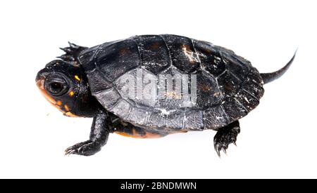 Écloserie de tortues ponctuées (Clemmys guttata), ouest du Michigan, États-Unis. Meetyourneighbors.net projet