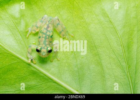 La grenouille en verre réticulée (Hyalinobatrachium valerioi) est captive en Colombie, au Costa Rica, en Équateur et au Panama Banque D'Images