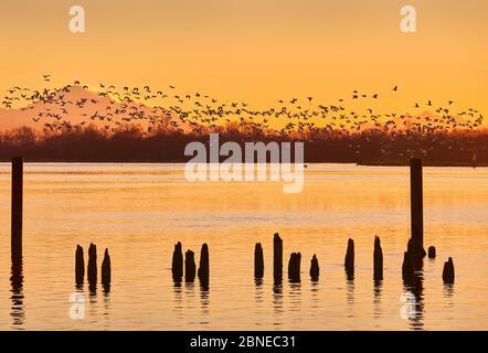 Oies des neiges du mont Baker au lever du soleil. Un grand troupeau d'Oies des neiges dégore le fleuve Fraser au lever du soleil. Richmond, Colombie-Britannique, Banque D'Images