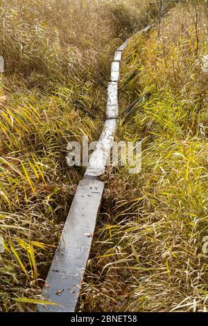 Réplique de la piste Sweet Track - ancienne piste construite à l'époque néolithique, traversant le marais à roseaux Avalon Marshes avec des pôles conduits dans la tourbe, Somerset,