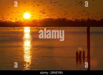 OIE des neiges du fleuve Fraser à Dawn. Un grand troupeau d'Oies des neiges dégore le fleuve Fraser au lever du soleil. Richmond, Colombie-Britannique, Banque D'Images
