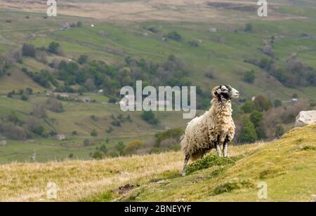 Swaledale ewe, une femelle brebis, à la recherche de son agneau sur une lande escarpée au-dessus du village de Gunnerside dans le Yorkshire Dales, Angleterre. Horizontale. Banque D'Images