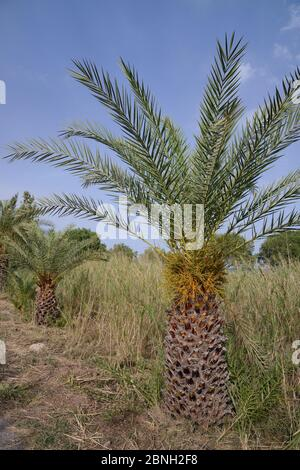 Jeunes palmiers crétois (Phoenix theophrasti), village de Xerokambos, Lasithi, Crète, Grèce, mai 2013.