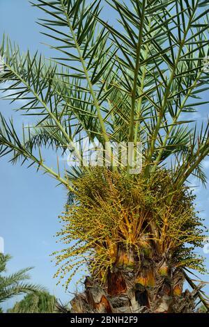 Jeune palmier crétois (Phoenix theophrasti) avec fruits en développement, village de Xerokambos, Lasithi, Crète, Grèce, mai 2013.