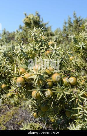 Genièvre à gros fruits (Juniperus macrocarpa), avec cônes de graines en mûrissement dans le maquis scrubland côtier, Kos, îles Dodécanèse, Grèce, août 2013.
